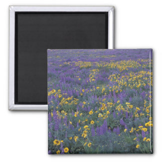 NA, USA, Washington Dalles, Lupine and 2 Inch Square Magnet