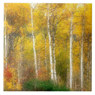 NA, USA, Washington, Fall Aspen Trees along Ceramic Tile