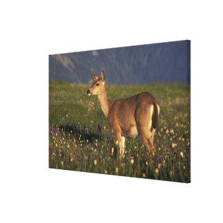 NA, USA, Washington, Olympic NP, Mule deer doe 2 Stretched Canvas Prints