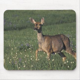 NA, USA, Washington, Olympic NP, Mule deer doe 2 Mouse Pad