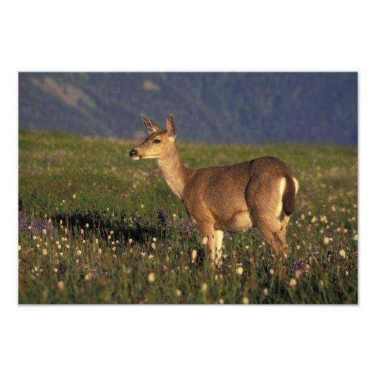 NA, USA, Washington, Olympic NP, Mule deer doe 2 Photo Print