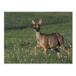 NA, USA, Washington, Olympic NP, Mule deer doe 2 Postcard