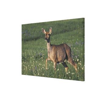 NA, USA, Washington, Olympic NP, Mule deer doe Gallery Wrap Canvas