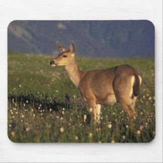 NA, USA, Washington, Olympic NP, Mule deer doe Mouse Pad
