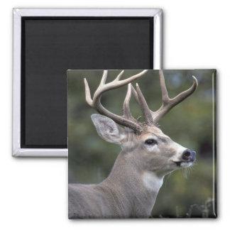 NA, USA, Washington State, White-tailed deer, Magnet
