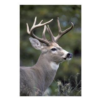 NA, USA, Washington State, White-tailed deer, Art Photo
