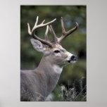 NA, USA, Washington State, White-tailed deer, Print