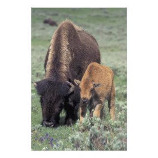 NA, USA, Wyoming, Yellowstone National Park. Photo Print