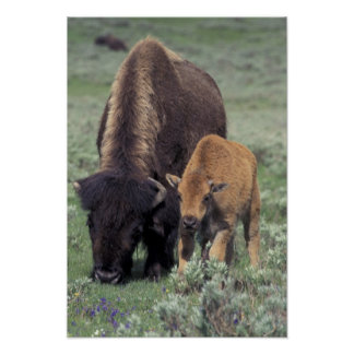 NA, USA, Wyoming, Yellowstone National Park. Posters