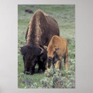 NA, USA, Wyoming, Yellowstone National Park. Poster