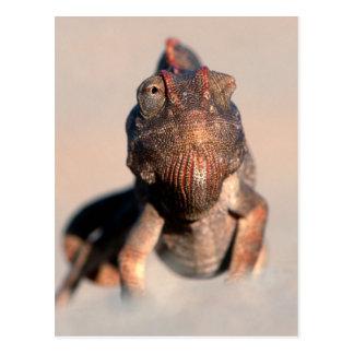 Namaqua Chameleon (Chamaeleo Namaquensis) Postcard