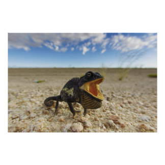 Namaqua Chameleon Chamaeleo namaquensis Poster