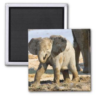 Namibia, Africa: Baby African Elephant Fridge Magnets