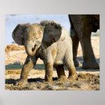 Namibia, África: Elefante africano del bebé Póster