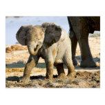 Namibia, África: Elefante africano del bebé Tarjeta Postal