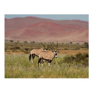 Namibia - antílopes del Oryx en la postal de