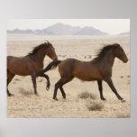 Namibia, Aus. Caballos salvajes que corren en el N Póster
