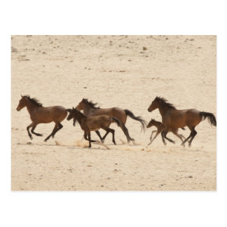Namibia, Aus. Group of running wild horses on Postcard