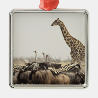 Namibia, Etosha National Park. A lone giraffe Metal Ornament