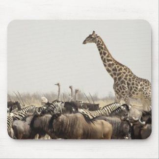 Namibia, Etosha National Park. A lone giraffe Mouse Pad