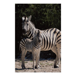 Namibia, Etosha National Park, Plains Zebra 2 Poster