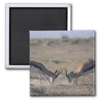 Namibia, Etosha National Park, Two male Magnet