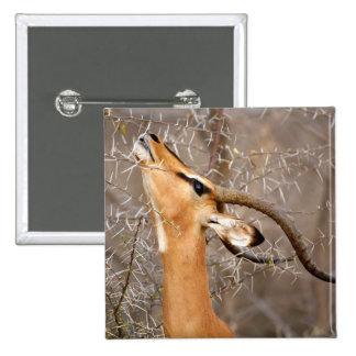 Namibia, Etosha NP.  Black Faced Impala Pin