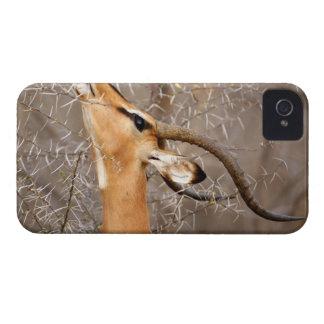 Namibia, Etosha NP.  Black Faced Impala iPhone 4 Covers