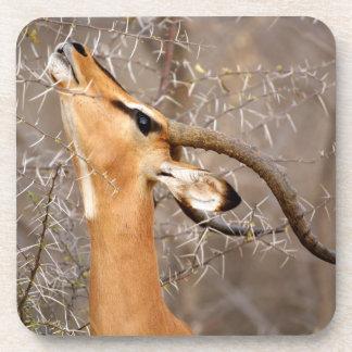 Namibia, Etosha NP.  Black Faced Impala Drink Coasters