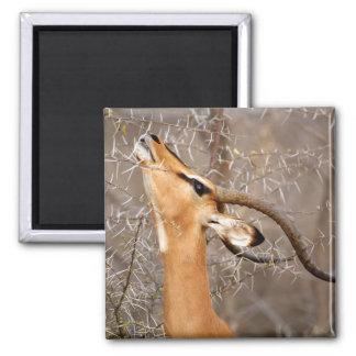 Namibia, Etosha NP.  Black Faced Impala Fridge Magnet
