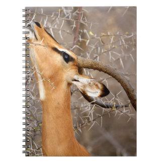 Namibia, Etosha NP.  Black Faced Impala Note Books