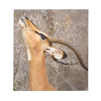 Namibia, Etosha NP.  Black Faced Impala Note Pads