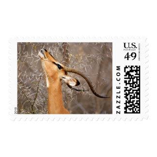 Namibia, Etosha NP.  Black Faced Impala Postage