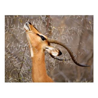 Namibia, Etosha NP.  Black Faced Impala Postcard