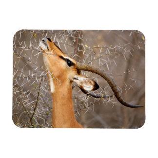 Namibia, Etosha NP.  Black Faced Impala Rectangle Magnet