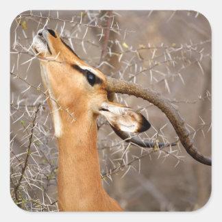 Namibia, Etosha NP.  Black Faced Impala Square Sticker