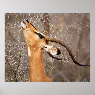 Namibia, Etosha NP.  El negro hizo frente al impal Impresiones