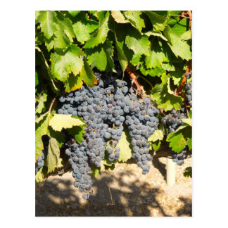 Napa Grapes Postcard