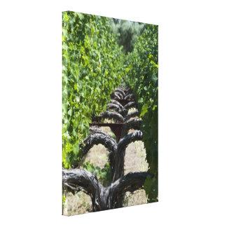 Napa Valley Vineyard Row of Grapes Canvas Print