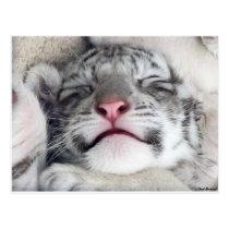 Napping White Tiger Kitten Postcard