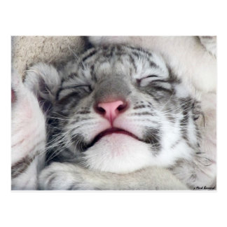 Napping White Tiger Kitten Postcard
