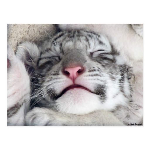 Napping White Tiger Kitten Post Card