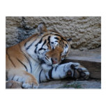 naptime tiger postcard