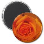 Naranja colorized subió contra fondo anaranjado imán para frigorifico