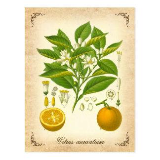 Naranja de Sevilla - ejemplo del vintage Postales