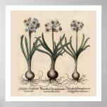 Narcillus Botanical Print