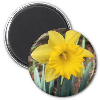 Narciso amarillo de la primavera imán de frigorífico