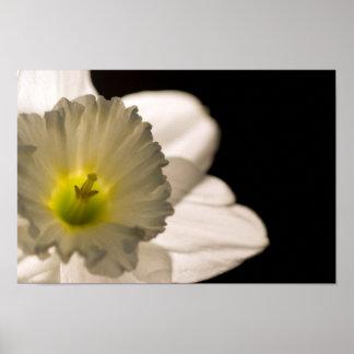 Narciso blanco retroiluminado impresiones