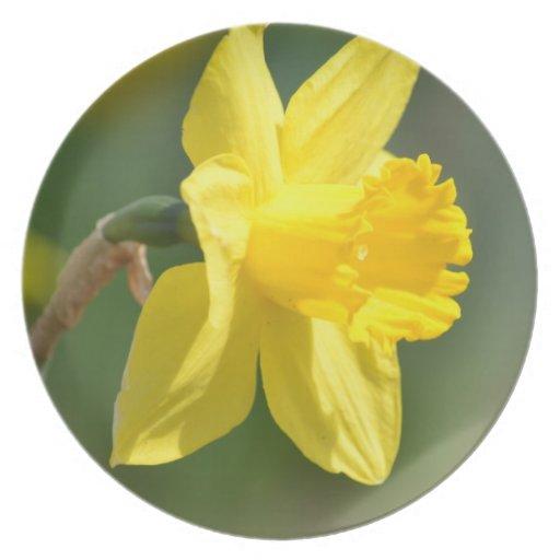 Narciso de la primavera platos