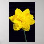 Narciso en flores de la floración poster